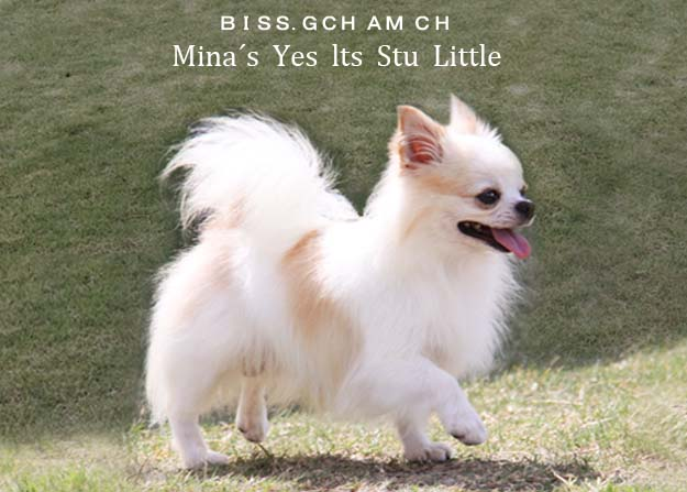 チワワブリーダー (BISS. AM GCH CH Mina's Yes Its stu Little)